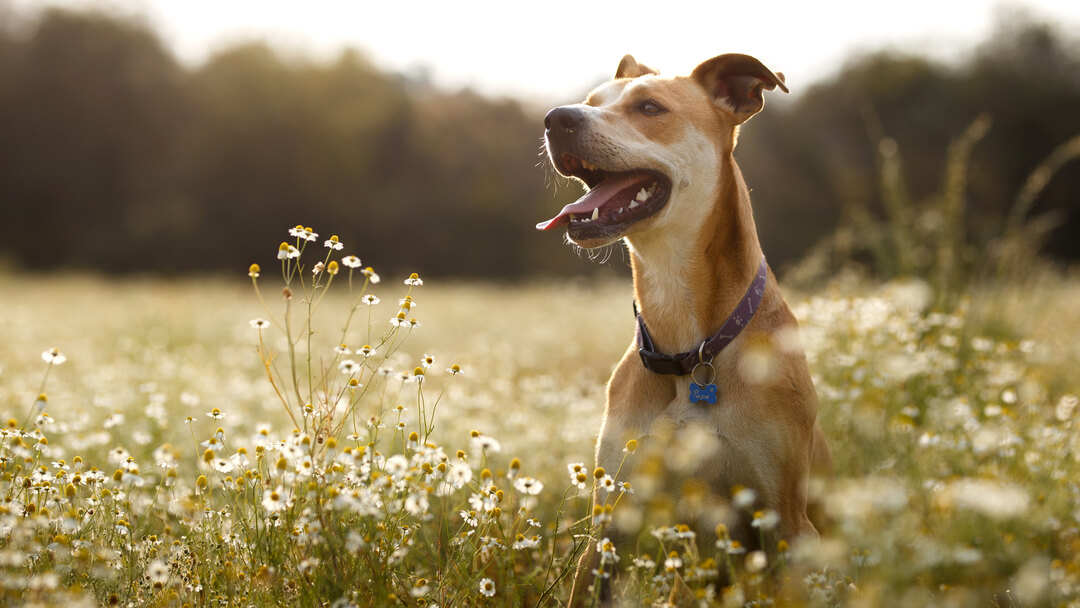 Dog jumping in a field of daisies.