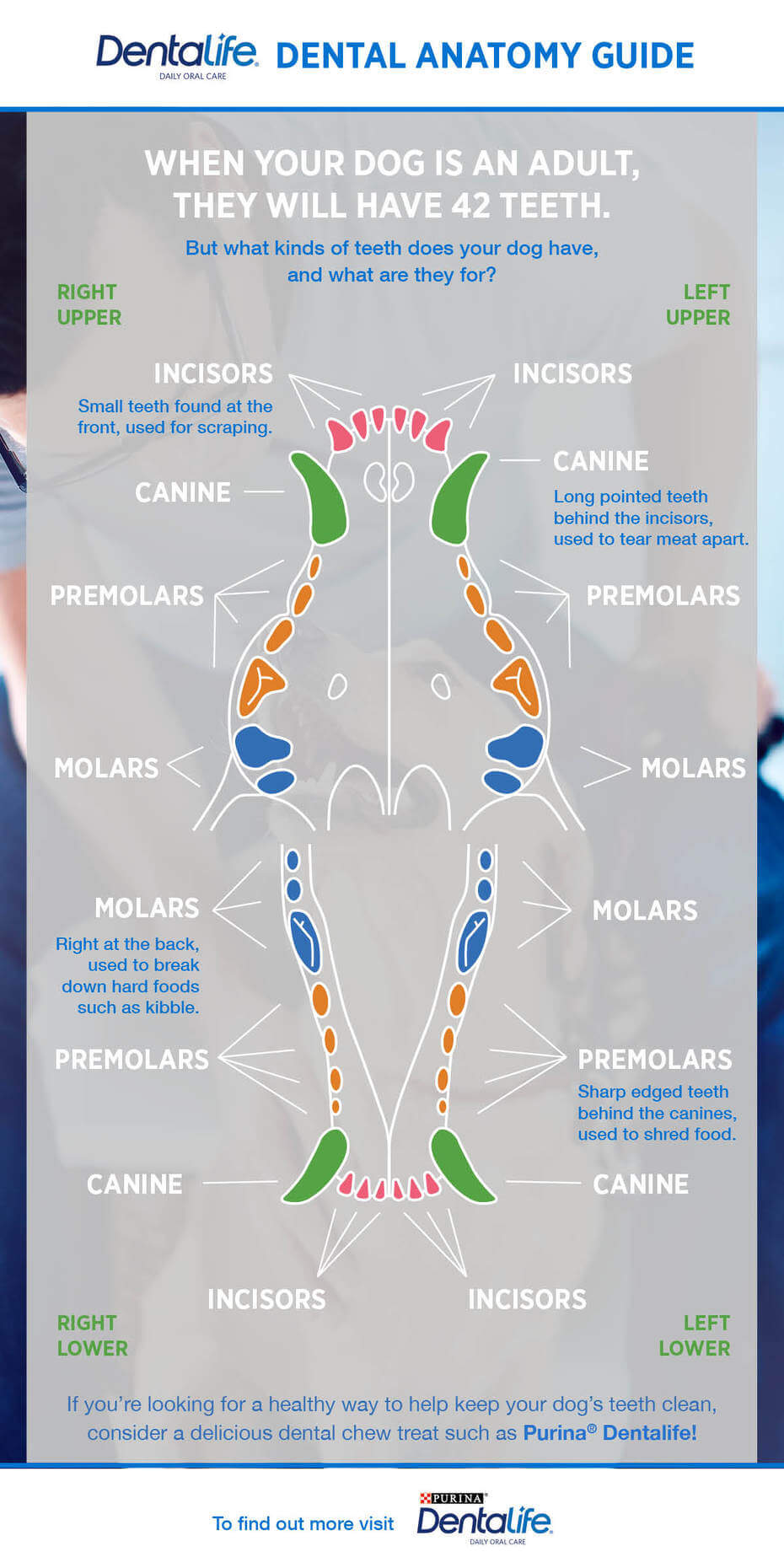 Dog Dental Chart