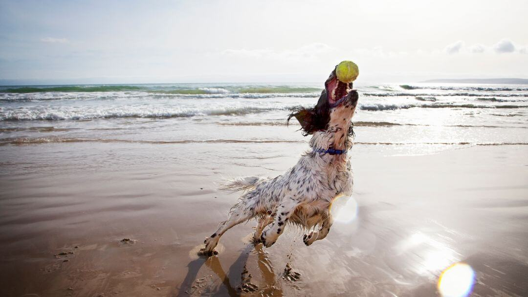 spaniel catching a tennis ball on the beach