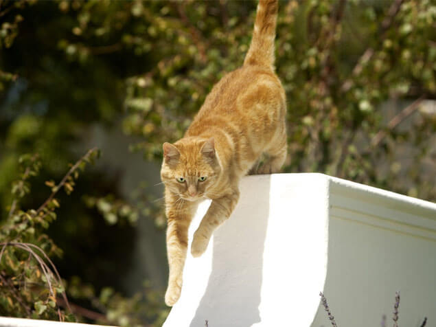 ginger cat jumping from gate outside