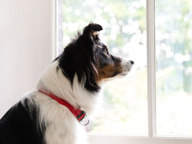 Border Collie looking out of a window