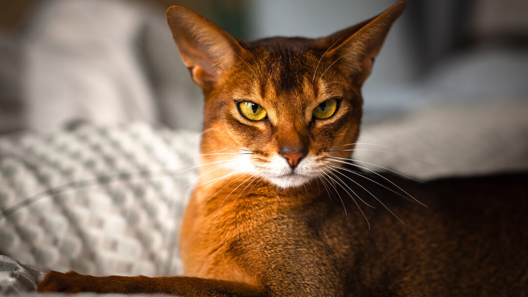 Chausie cat with light green eyes lying down.