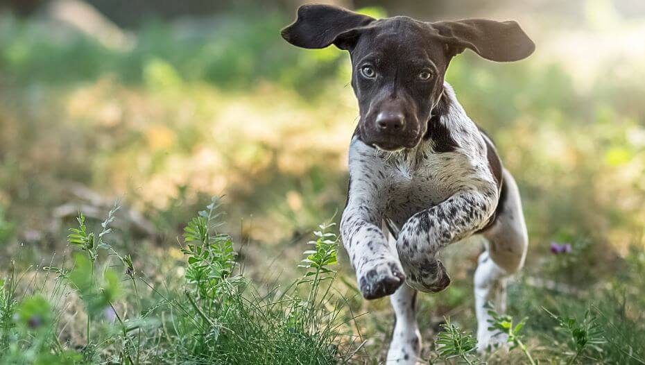 German Shorthaired Pointer running at green grass