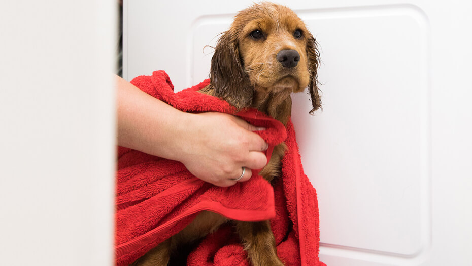 small wet dog being wrapped in a towel