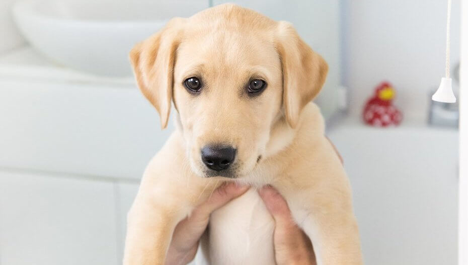 Labrador puppy being held up in a bathroom
