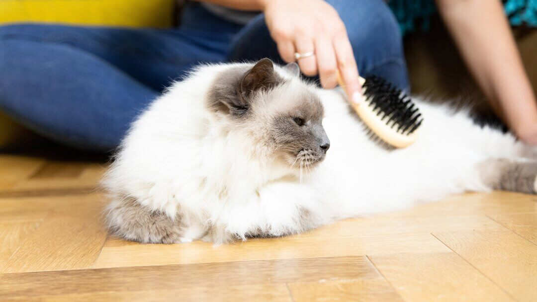 Fluffy white cat being brushed.