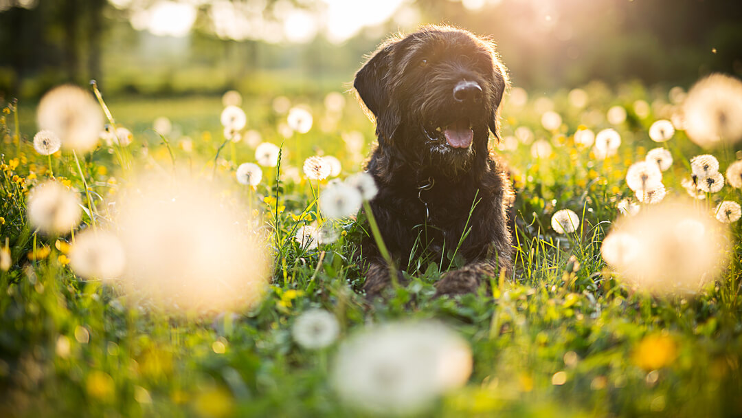 Black dog sitting in a field of dandelions.