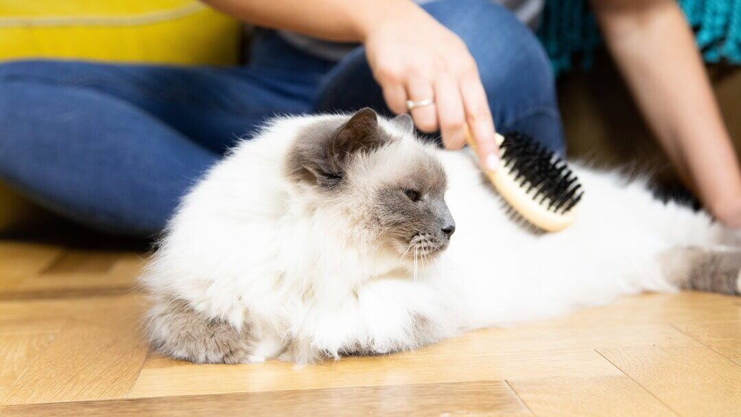 white cat being brushed