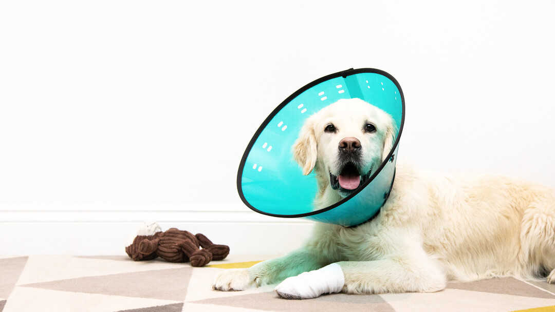 Dog wearing a blue cone and a bandage on his leg
