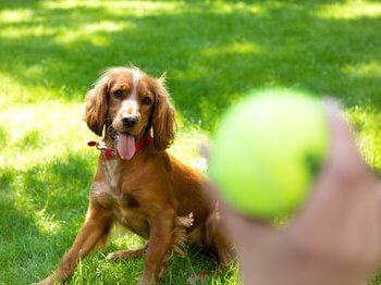 Dog watching tennis ball