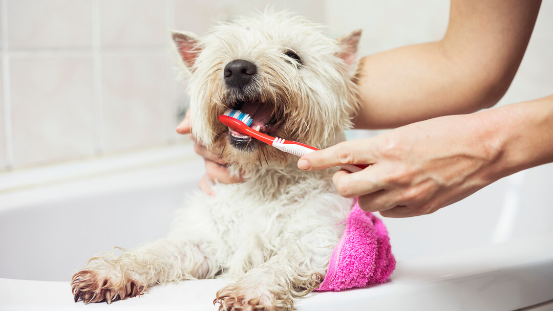 small white dog having her teeth brushed