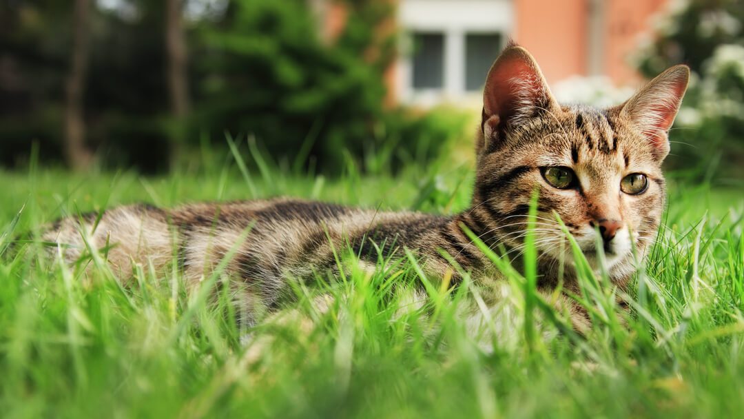 cat lying in the grass