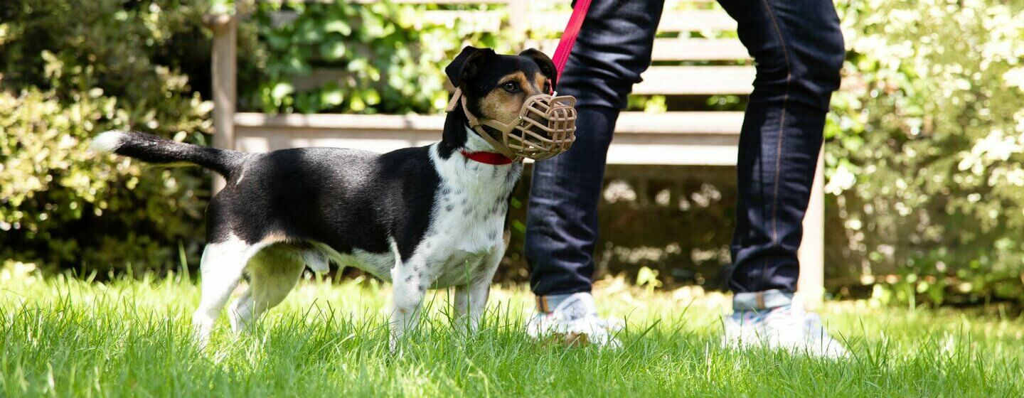 dog wearing a muzzle on a lead