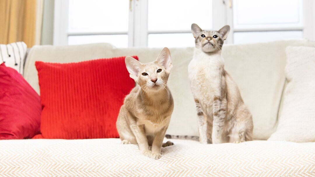 Two beige cats sitting on a sofa with a red pillow.