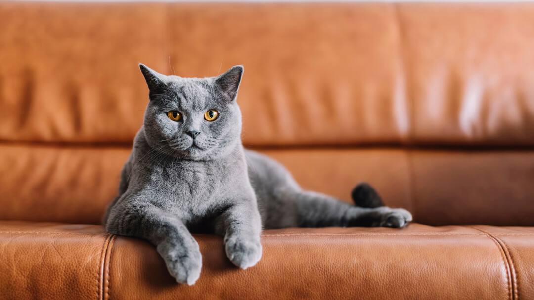 Grey cat sitting on a leather sofa.