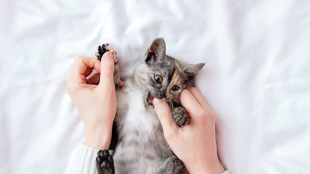 Small grey kitten biting owner's thumb.