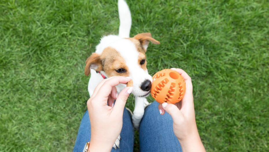Puppy sniffing orange chew toy