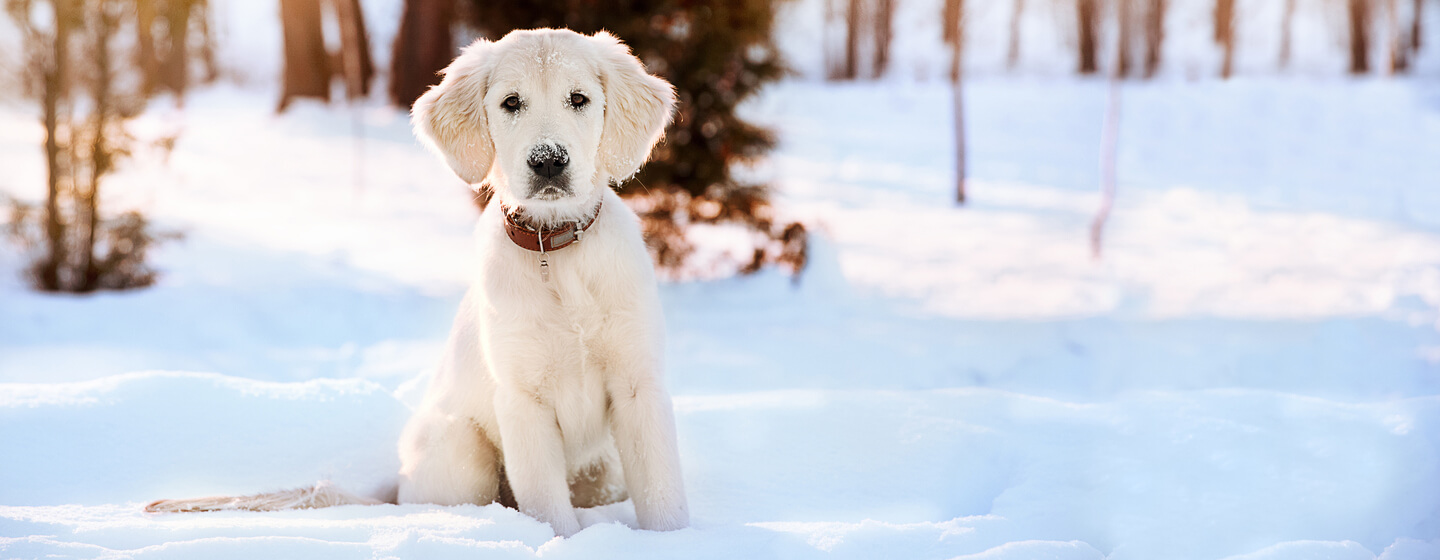 golden retriever puppy sitting in the snow