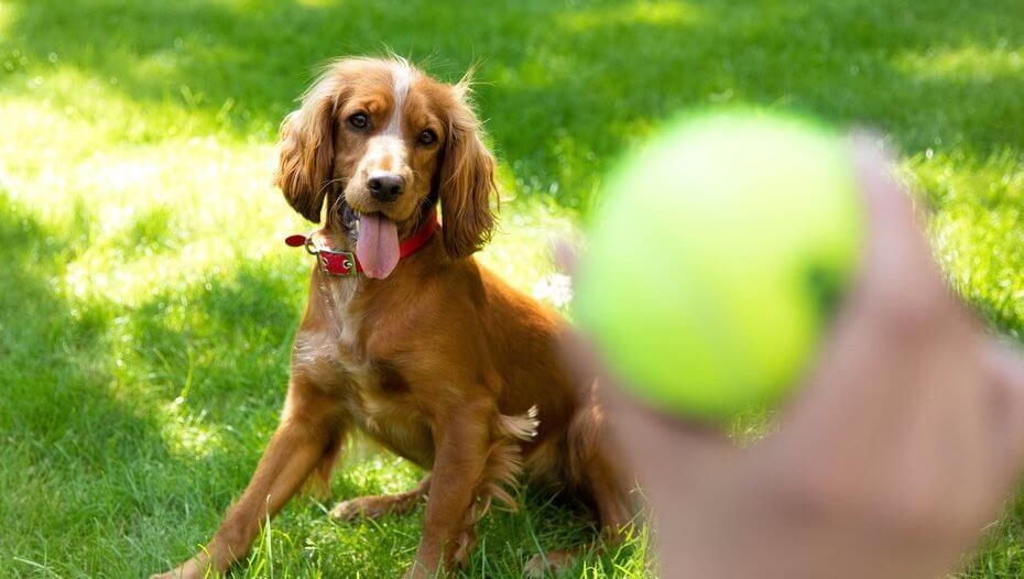 Happy spaniel puppy waiting for a tennis ball to be thrown
