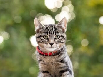 Tabby cat with red collar