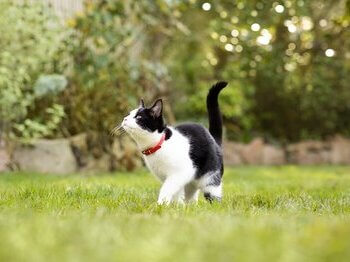 Black and white cat playing in grass