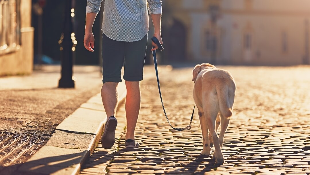 Golden Labrador walking down pebbled street with owner.