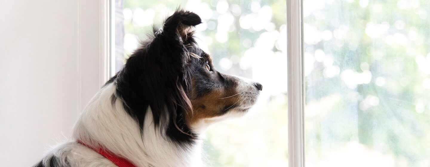Collie dog sitting inside on a window seat looking outside through the window.