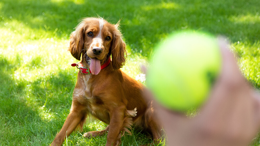 Dog playing catch with tennis ball