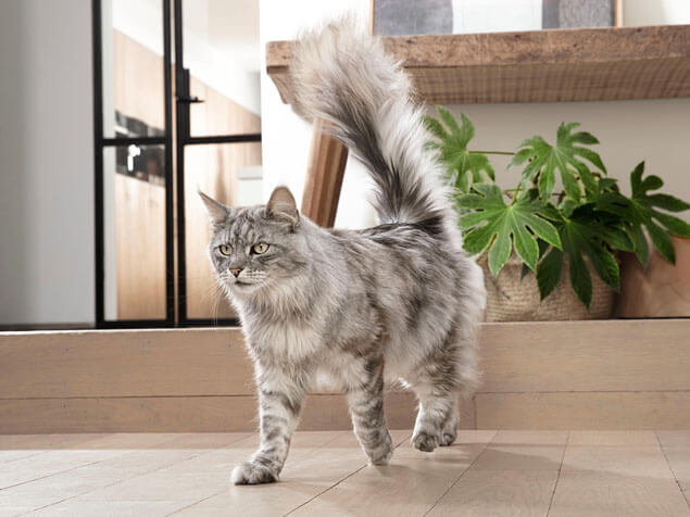 Purina One grey cat
