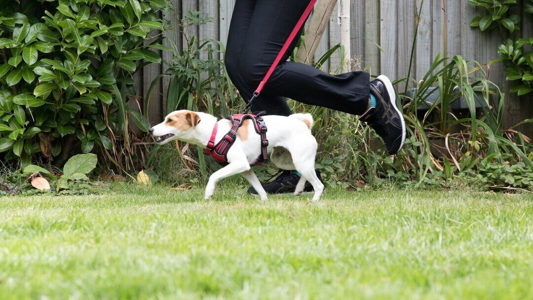 Brown and white Jack Russell Terrier on a red lead running with owner.