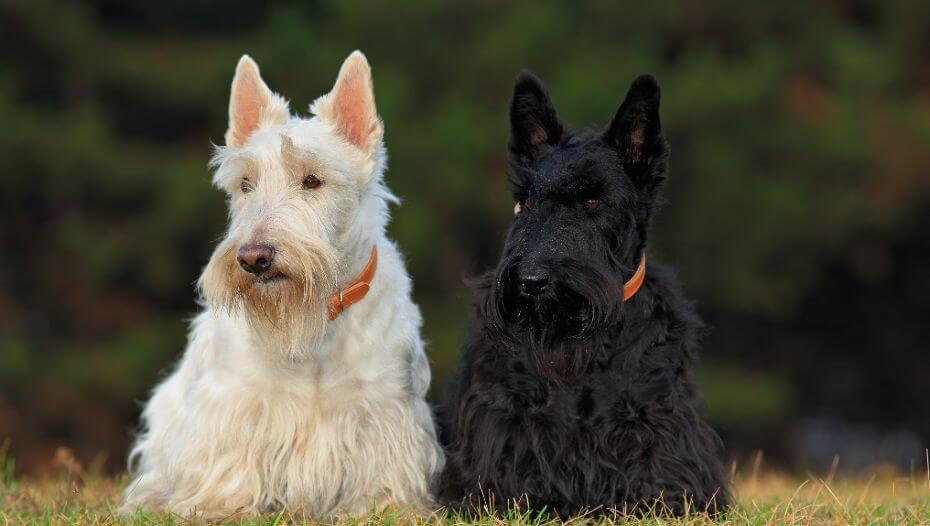 Black and white Scottish Terriers sitting next to each other
