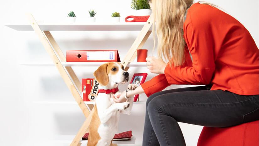 Beagle at a desk with Bonio boxes