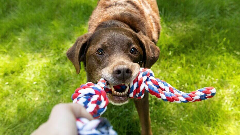 older chocolate labrador playing with a rope toy