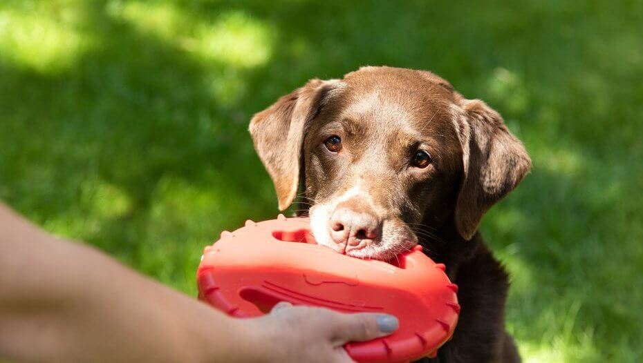 older chocolate labrador playing with a red toy