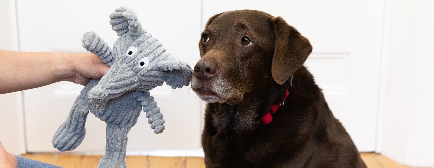 older chocolate lab being given a stuffed toy