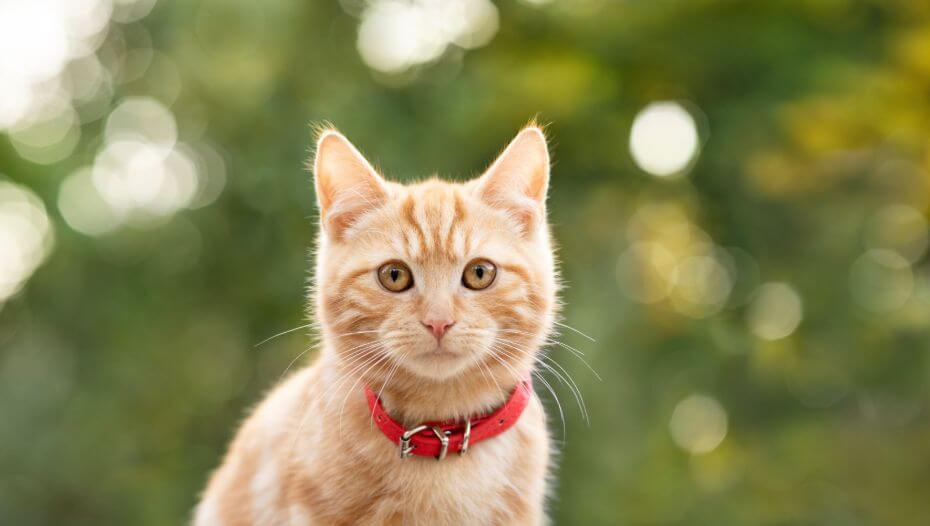 Ginger cat with red collar and brown eyes.