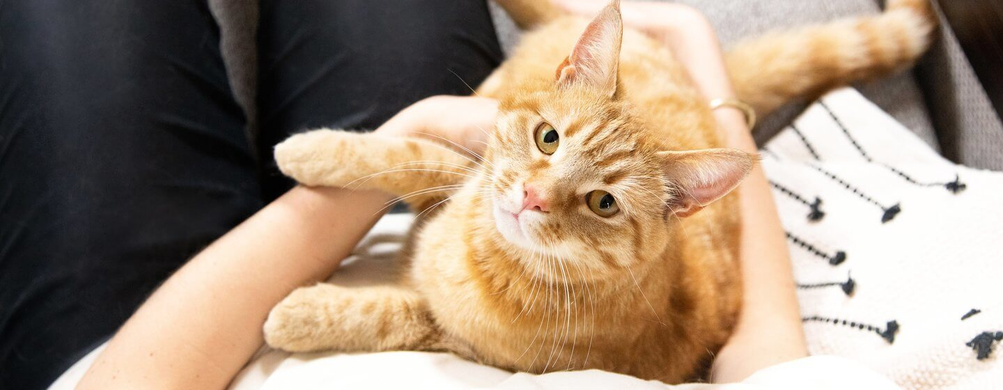 Ginger cat cradled by owner