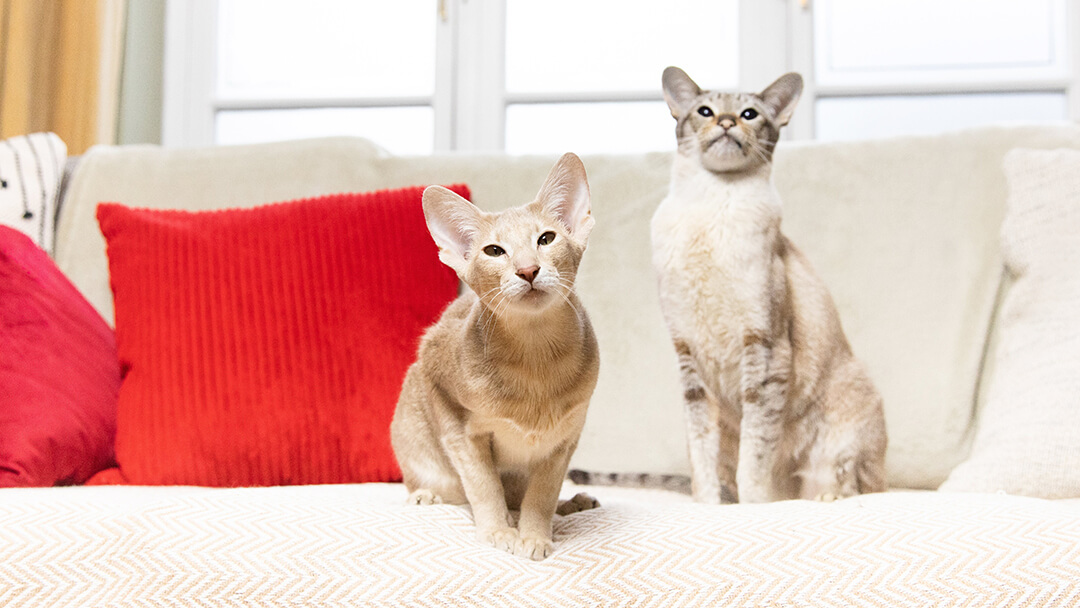 Two cats sitting on a sofa with red cushions
