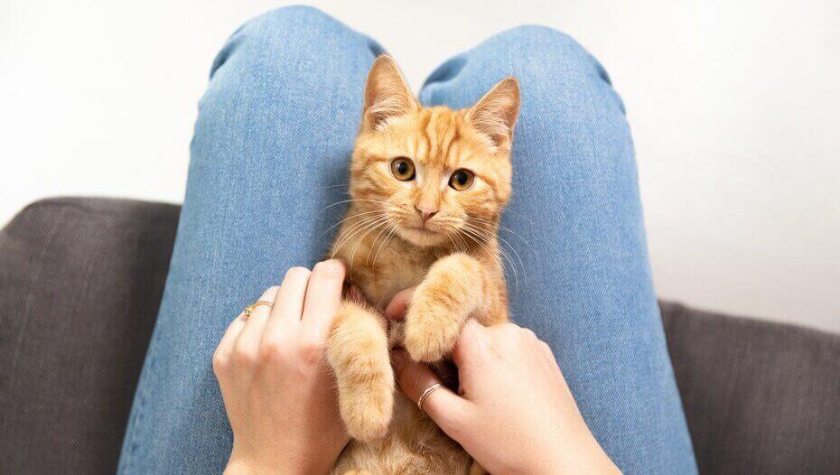 ginger cat sitting between owner's legs