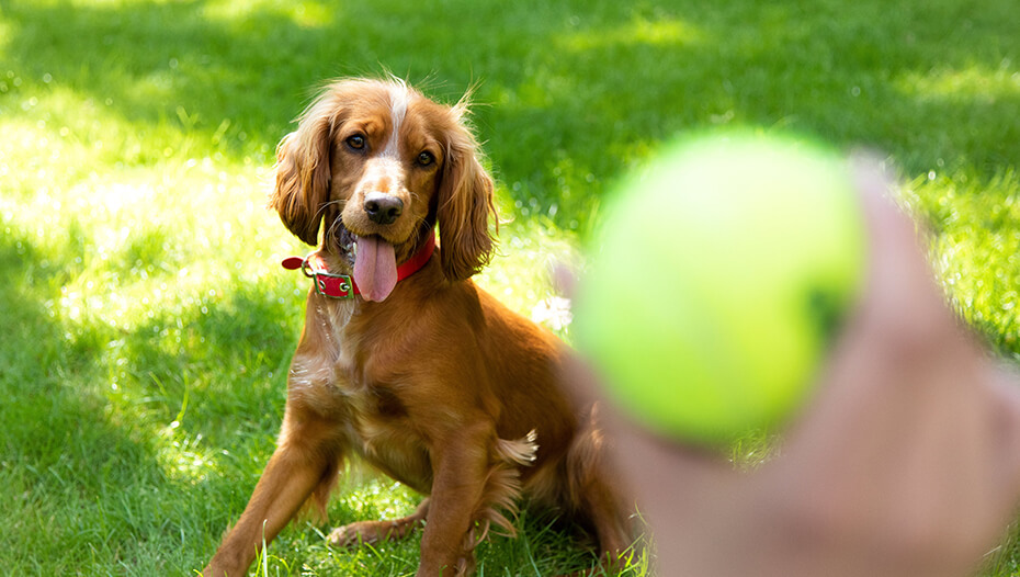 Dog waiting to play with tennis ball