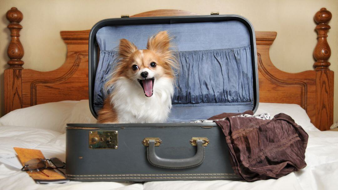 small dog yawning sitting in a suitcase