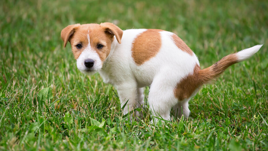 Jack russell puppy pooping on the grass