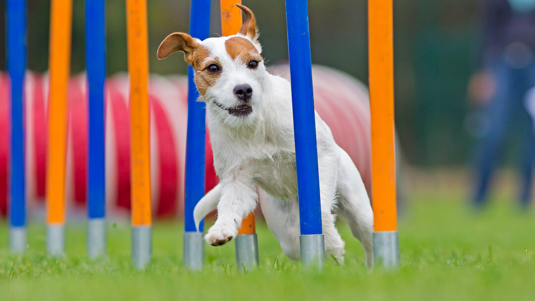 small dog running on an agility course
