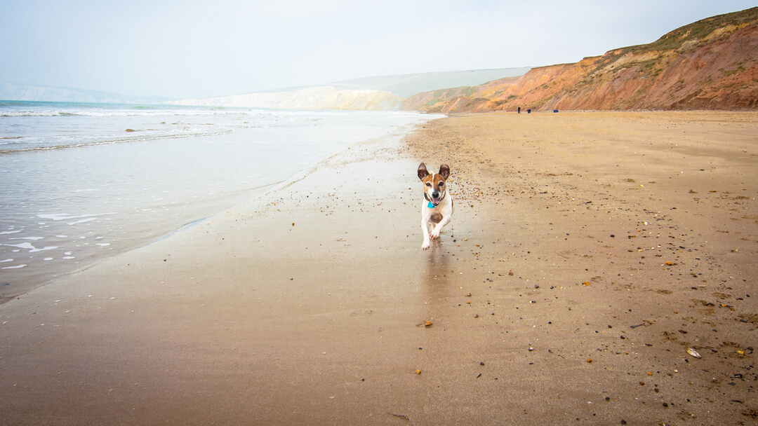 brown and white dog running along a beach with cliffs