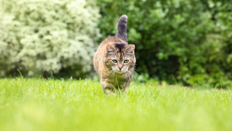 cat walking in grass