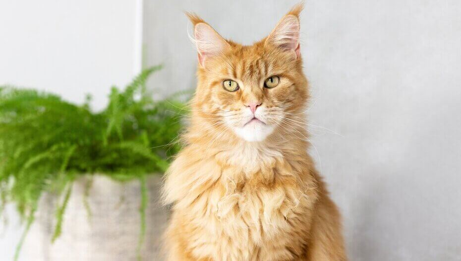 Ginger Maine Coon sitting