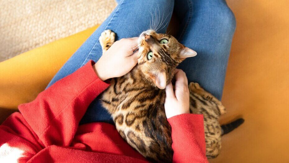 bengal cat sitting on owner's lap