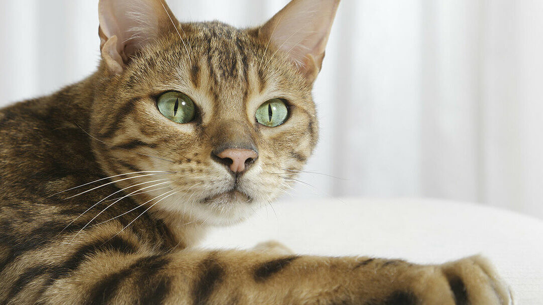close up of bengal cat with green eyes