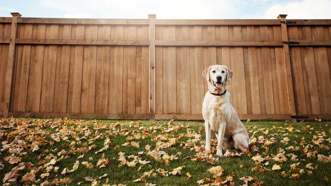 Yellow labrador sitting in a garden surrounded by leaves