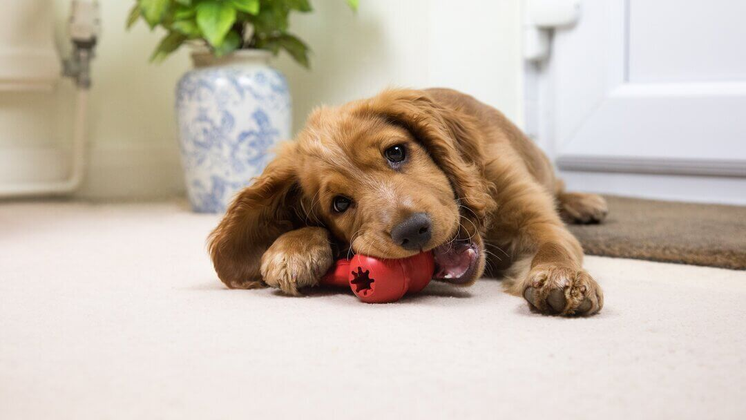 Brown puppy Spaniel chewing red toy